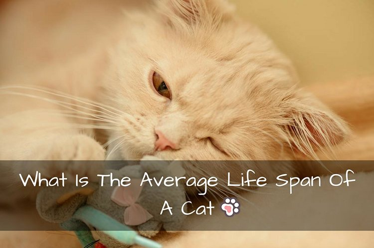 average lifespan of a cat