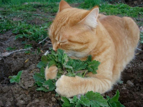 cat-and-catnip