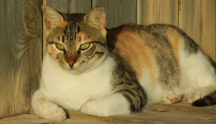 How much is a male calico cat worth