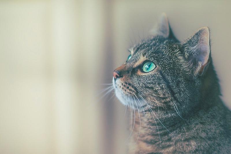 cat staring at wall