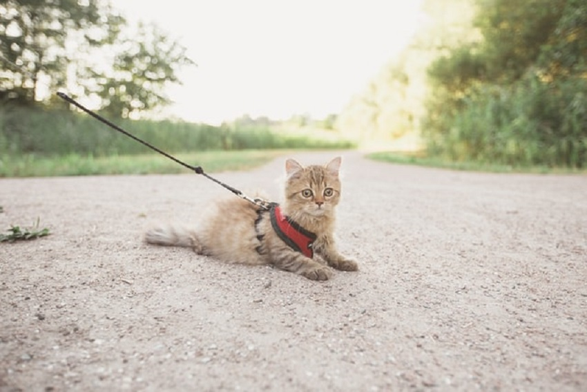 cat walking harness